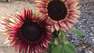sunflower_procut_plum_1920x1080